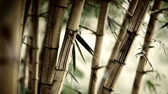 Bambu Ağacı