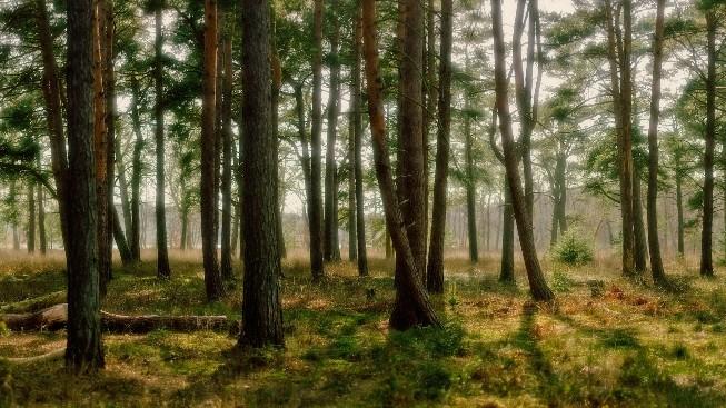 Çam Ağaçları