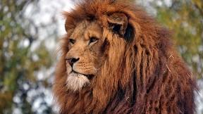 aslan,hayvan,vahşi,doğa