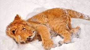 aslan,kar,hayvan,vahşi