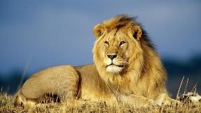 aslan,kral,vahşi,güneş