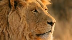 aslan,hayvan,kral,vahşi