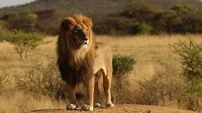 aslan,kral,vahşi,doğa,güneş