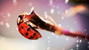 uğur böceği,dal,böcek,hayvan,damla