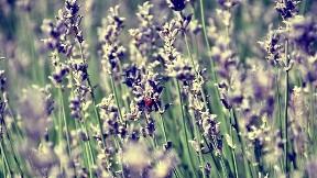 uğur böceği,çiçek,böcek