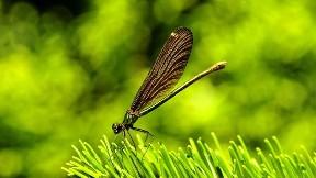 yusufçuk,böcek,hayvan,çimen
