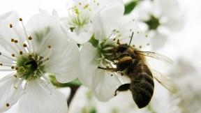 arı,balarısı,hayvan,çicek,böcek