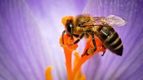 arı,bal arısı,hayvan,çicek,böcek