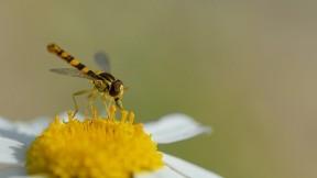 arı,bal arısı,çicek,böcek