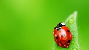 uğur böceği,yaprak,böcek,hayvan,damla