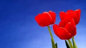 lale,çiçek,gökyüzü