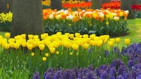 lale,çiçek,çimen,ağaç