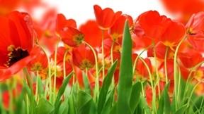 lale,çiçek