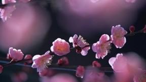 erik çiçeği,çiçek,ağaç,erik