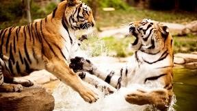 kaplan,hayvan,vahşi,doğa,nehir