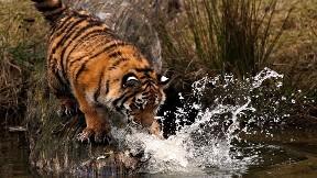 kaplan,vahşi,hayvan,nehir