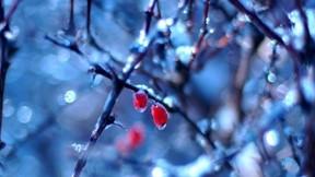 çalı,meyve,kar,kış,buz