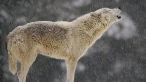 kurt,hayvan,vahşi,kar,doğa