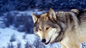 kurt,vahşi,kar,doğa