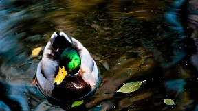 ördek,kuş,göl,yaprak