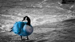 kaz,kuş,deniz