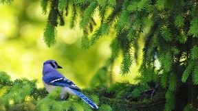 alakarga,kuş,ağaç,doğa
