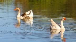 ördek,kuş,göl