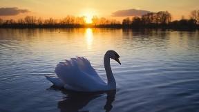 kuğu,kuş,göl,günbatımı,gökyüzü