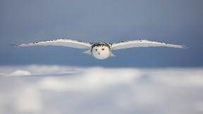 baykuş,gökyüzü,bulut,kuş