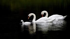 kuğu,kuş,göl