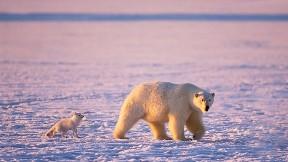 hayvan,ayı,kutup ayısı,kutup tilkisi,tilki,buz