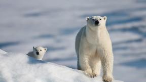 kutup ayısı,kar,ayı,hayvan
