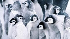 penguen, hayvan, kuş, kar