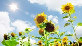 ayçiçeği,gökyüzü,yaz,güneş,bulut