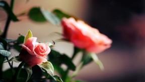 gül,yaz,çiçek