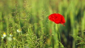 çiçek,yaz,doğa,gelincik