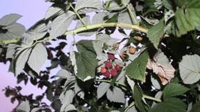 meyve,ahududu,yaz,doğa