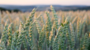 buğday,tarla,yaz,günbatımı