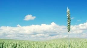 buğday,tarla,yaz