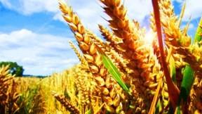 yaz,buğday,güneş