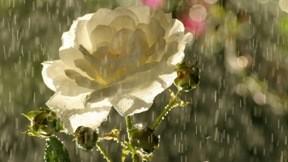 gül,çiçek,yağmur,yaz,güneş