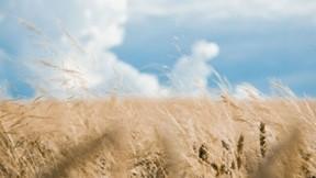 buğday,yaz,tarla,gökyüzü,bulut