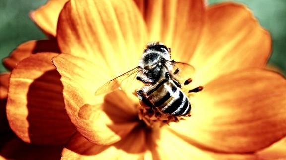 Bal Toplayan Arı