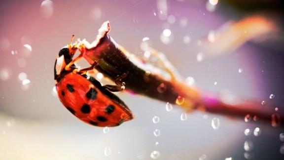 Uğur Böceği Duvar Kağıdı
