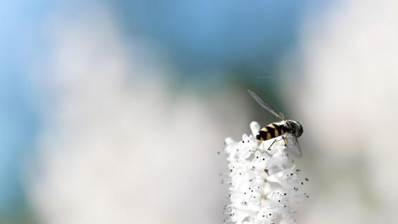 Beyaz Çiçekte Yabani Arı