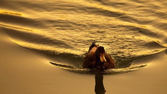 Yüzen Ördek