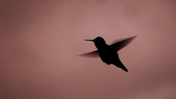 Gece Sinek kuşu