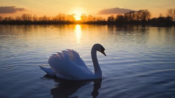 Günbatımı Kuğu