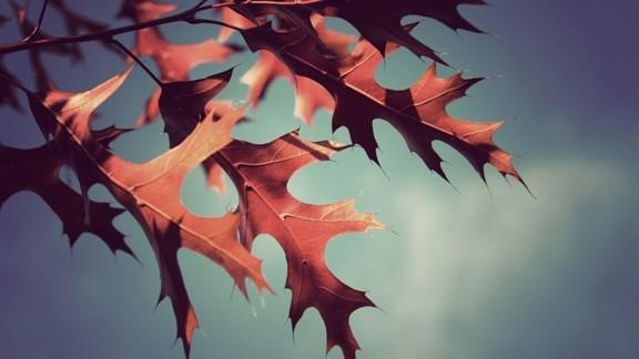 Kızıl Meşe Yaprakları