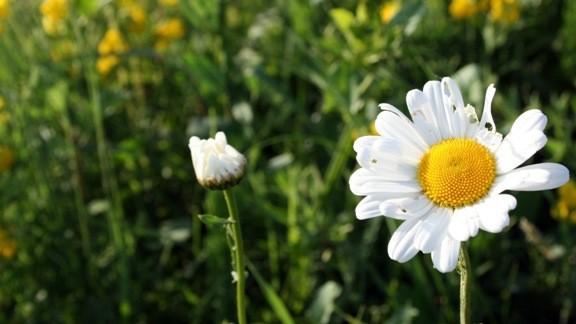 Yazın Papatya Çiçeği